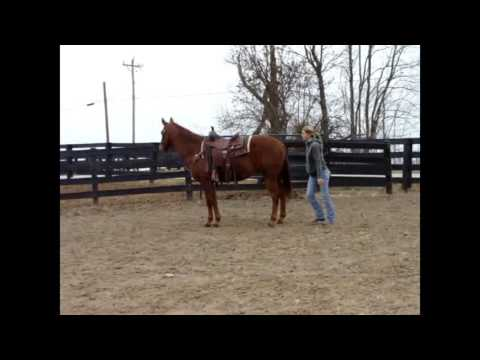 15.2 HAND SORREL QUARTER HORSE GELDING, BEEN USED AS A GUEST HORSE AT A RANCH