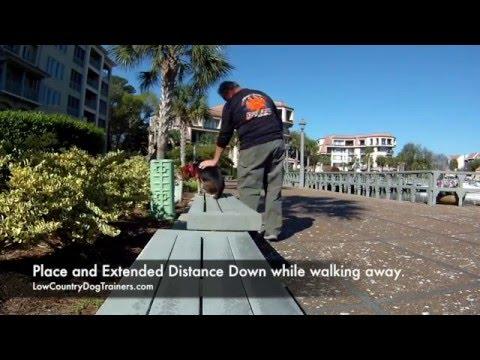 Beagle Training   Best Dog Trainer in Savannah
