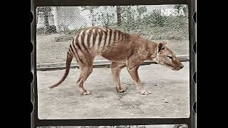 Tasmanian Tiger in Colour