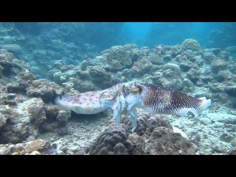 Giant Cuttlefish: Fighting, Mating And Egg Laying