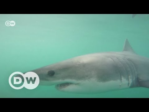 South Africa's great white sharks facing extinction | DW English