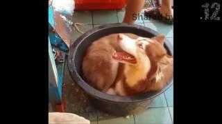 Trời nóng lắm hả ta (Dog in a hot day)