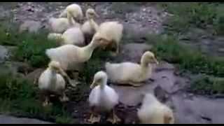Как правильно надо учить гуся