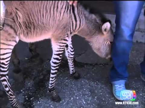 Super-cute baby zonkey, not for sale, probably sterile