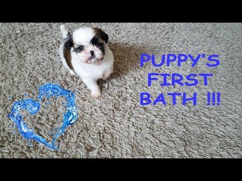 Puppy's first bath - so cute (Shih Tzu)