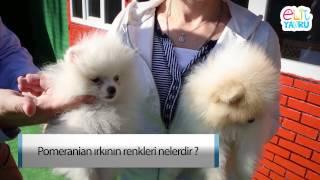 Pomeranian ırkının renkleri nelerdir ?