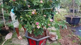 Trồng hoa hồng - Thay chậu cây hoa hồng dễ dàng