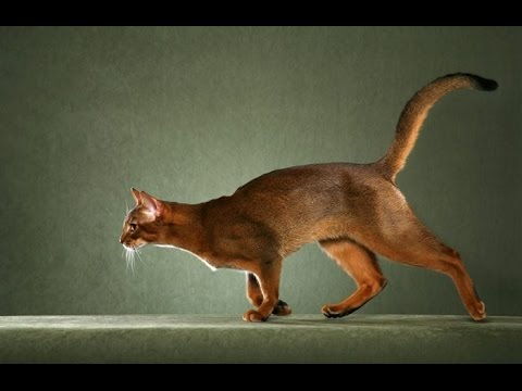 Cats 101~Abyssinian Cats Interesting Funny Facts You Didn't Know