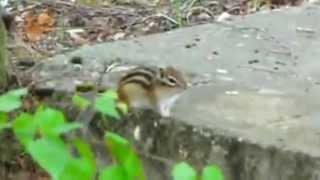 Бурундук не успел испугаться и удрать. Chipmunk, squirrel