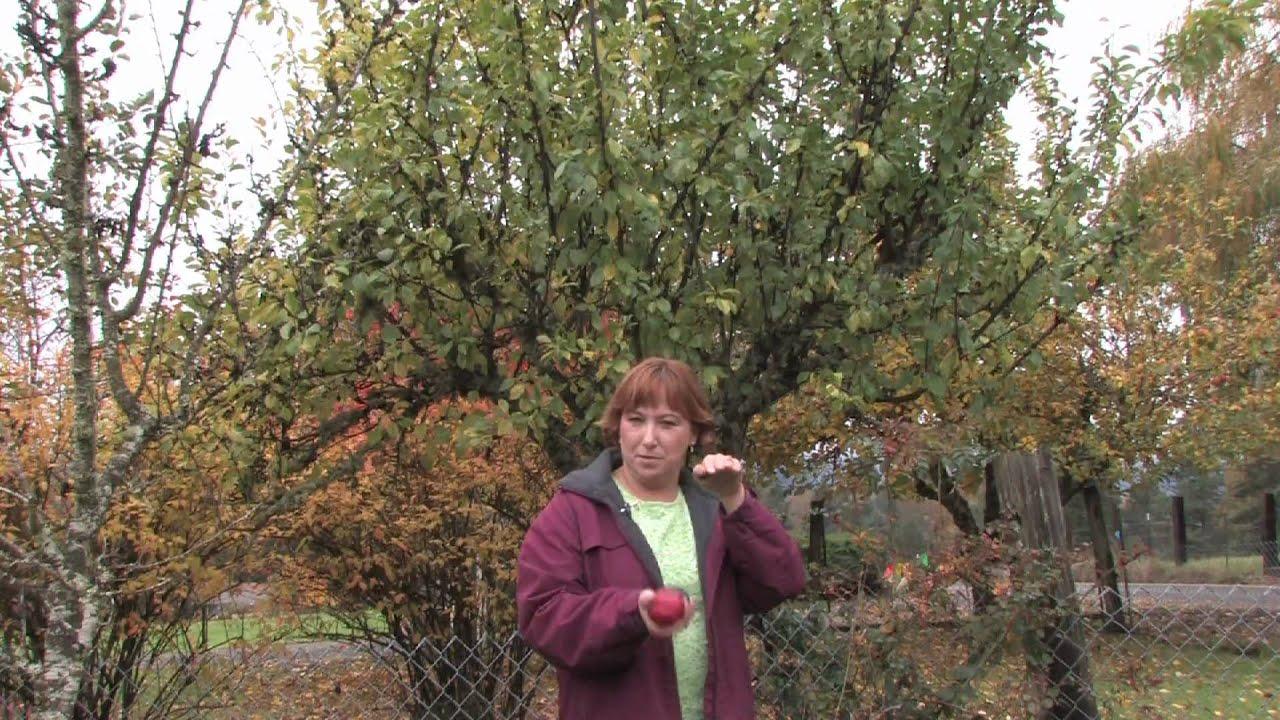 Tree & Plant Care : How to Grow Plum Trees - YouTube