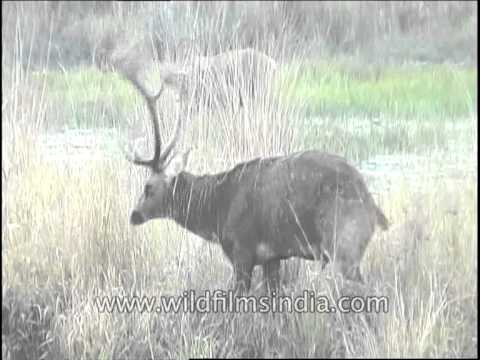 Lone Barasingha grazing in the wild grasslands of India