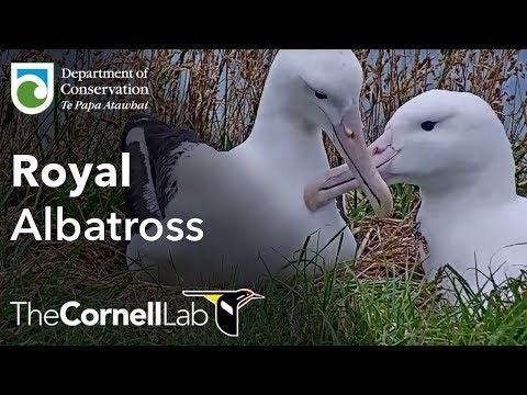Live Royal Albatross Cam - #RoyalCam - New Zealand Dept. Of Conservation | Cornell Lab
