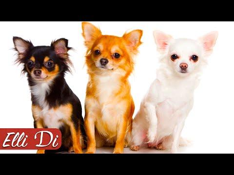 породы собак чихуахуа
