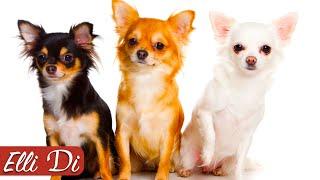 ЧИХУАХУА - ТОП 10 ИНТЕРЕСНЫХ ФАКТОВ | ПОРОДЫ СОБАК | Elli Di Собаки