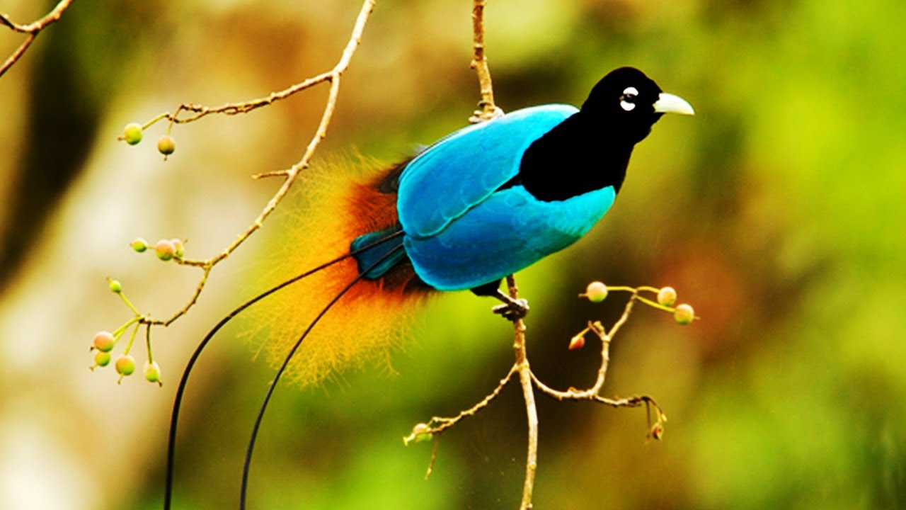 Download 10 Most Beautiful Birds Of Paradise