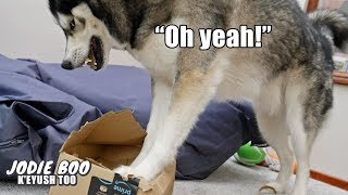 Husky Says OH YEAH Perfectly While Opening His Mail!