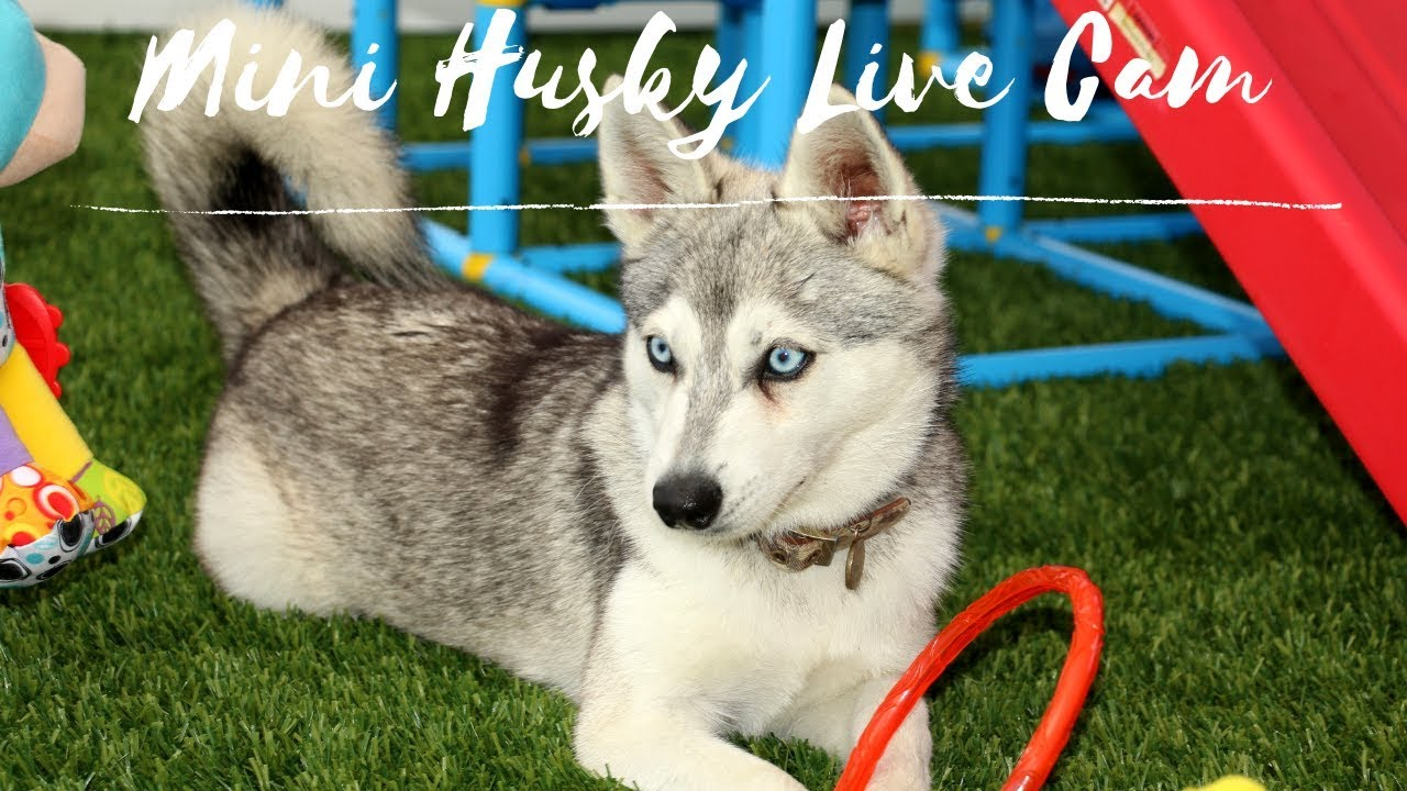 SO CUTE!! Alaskan Klee Kai Puppy Dogs - LIVE CAM - Mini Husky Puppies