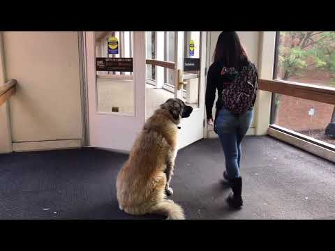 2 YO Leonberger Aslan Before & After | Recall Issues Resolved | Off Leash K9 Training Portland, OR