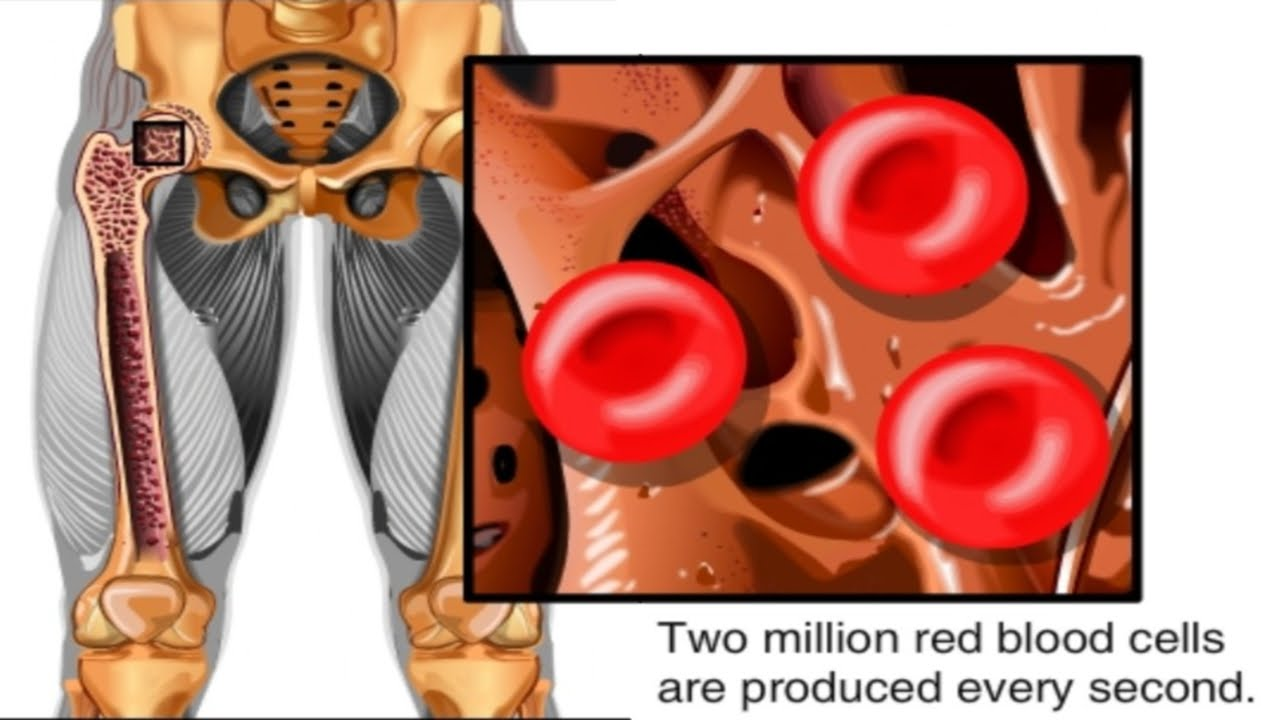 how red blood cells are made animation formation of rbc video