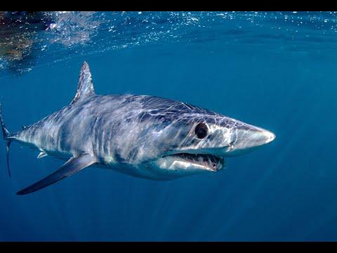 Shark Attacks Tuna