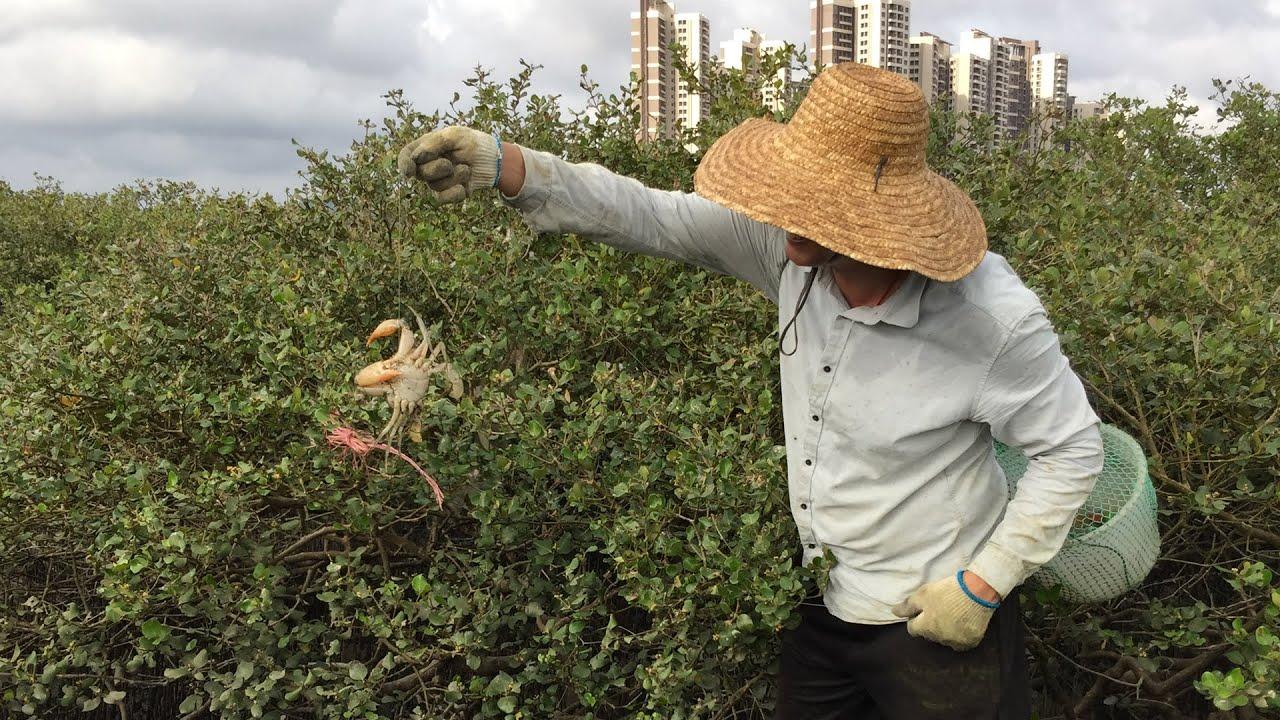 闲牛用老渔民古法去红树林钓螃蟹,果然效果显著,收获了大螃蟹