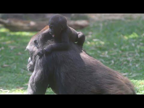 AFP news agency: Critically endangered baby gorilla born in Brazil zoo | AFP