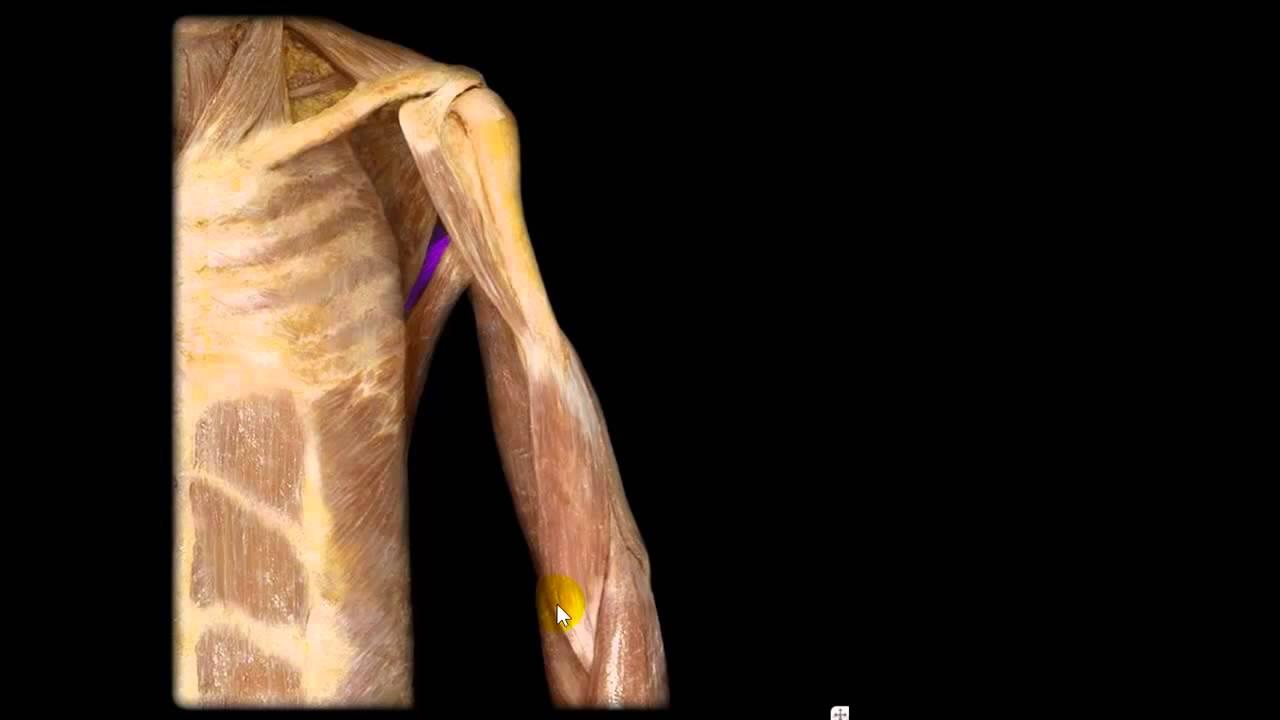 musculos del brazo diseccion y explicado YouTube - YouTube