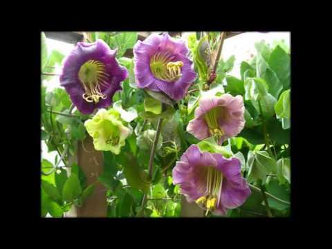 Лиана Комнатное Растение Фото