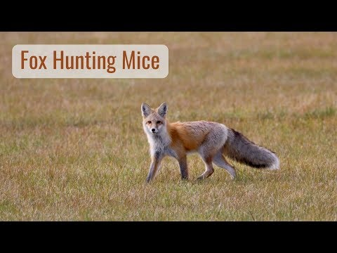 Wonderful Wyoming Wildlife - Fox Hunting For Dinner