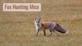 Wonderful Wyoming Wildlife - Fox Hunting for Dinner