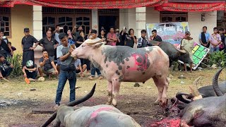 Rambu Solo\x27, Prosesi Pemakaman Suku Toraja (Funeral)- Hari #7: Mantunu Tedong (Menyembelih Kerbau)