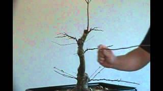 Bonsai styling japanese maple coral bark  pt 5