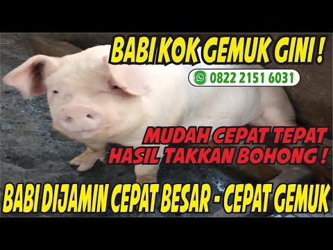 cara-mudah-penggemukan-babi-bagi-pemula---vitamin-babi-biar-cepat-besar---pelihara-babi-cepat-besar