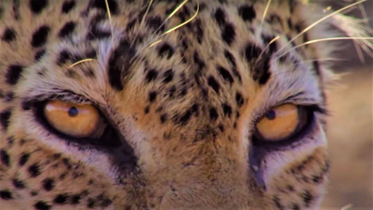 Download Nail-Biting Leopard Moments | Top 5 | BBC Earth