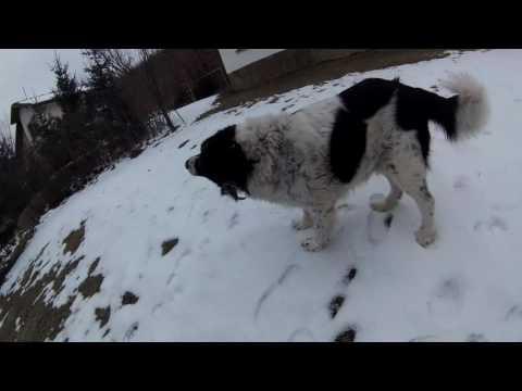 Bulgarian Shepherd Dog In The Snow