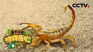 [正大综艺·动物来啦]选择题:蝎子的毒素存储在身体的哪个部位?| CCTV