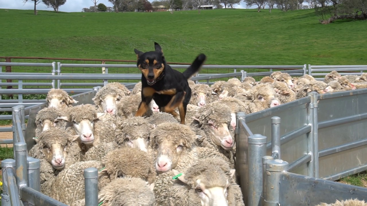 yard work  new imported australian bloodlines to devonairs kelpie stud