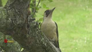 Green Woodpeckers In My Garden