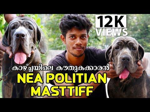 കാഴ്ചയിലെ കൗതുകക്കാരൻ Nea politian masttiffiനെ പരിചയപ്പെടാം Nea politian masttiff Dogs malayalam