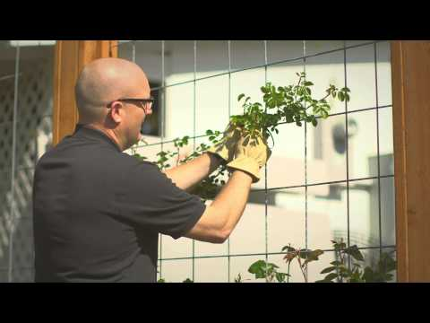 Planting and training your climbing rose