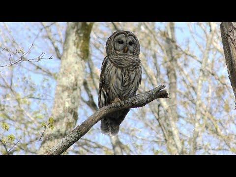 Barred Owl Hooting (HD)