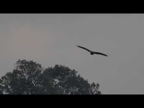 Keizerarend Eastern Imperial Eagle Kaiseradler Rouveen 9 oktober 2017 Guus van Duin NEaA