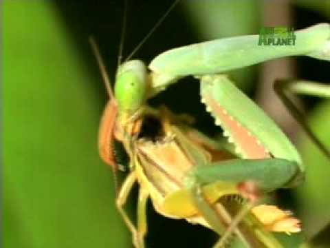 Nature's Perfect Predators- Praying Mantis