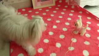 Maltese, Husky And A Cheat One™ Chiwawa.wmv