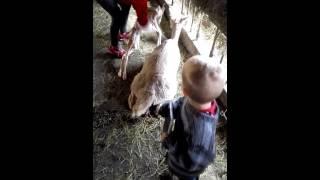 Gambar cover Wilhelm får med seg sin første alpakkafødsel