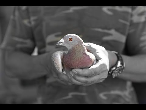 Number One Late Hatch Pigeon Race 2016 United States