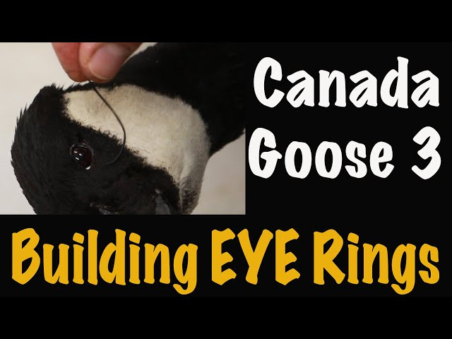 Canada goose Taxidermy, 3 of 4. How to build EYE RINGS. Art of Taxidermy