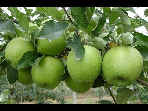 фото яблоко чемпион