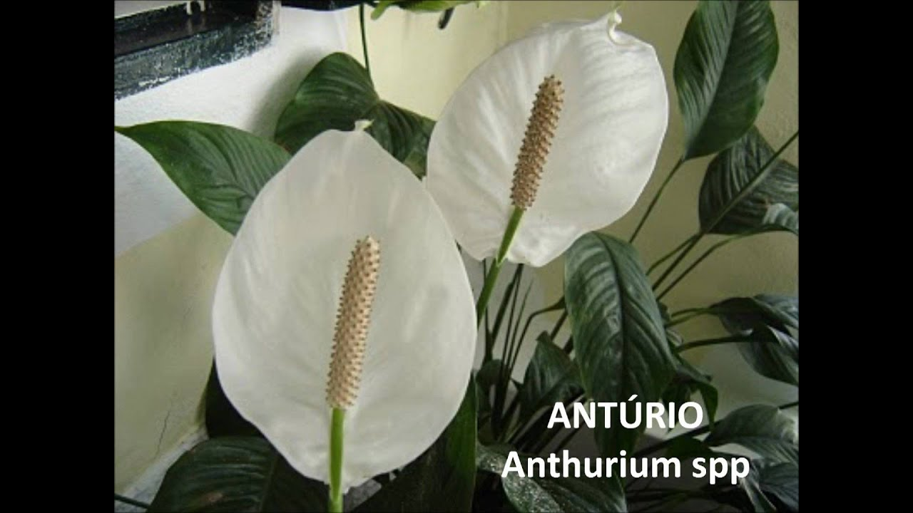 Plantas t xicas center vet youtube for Plantas de interior anturio