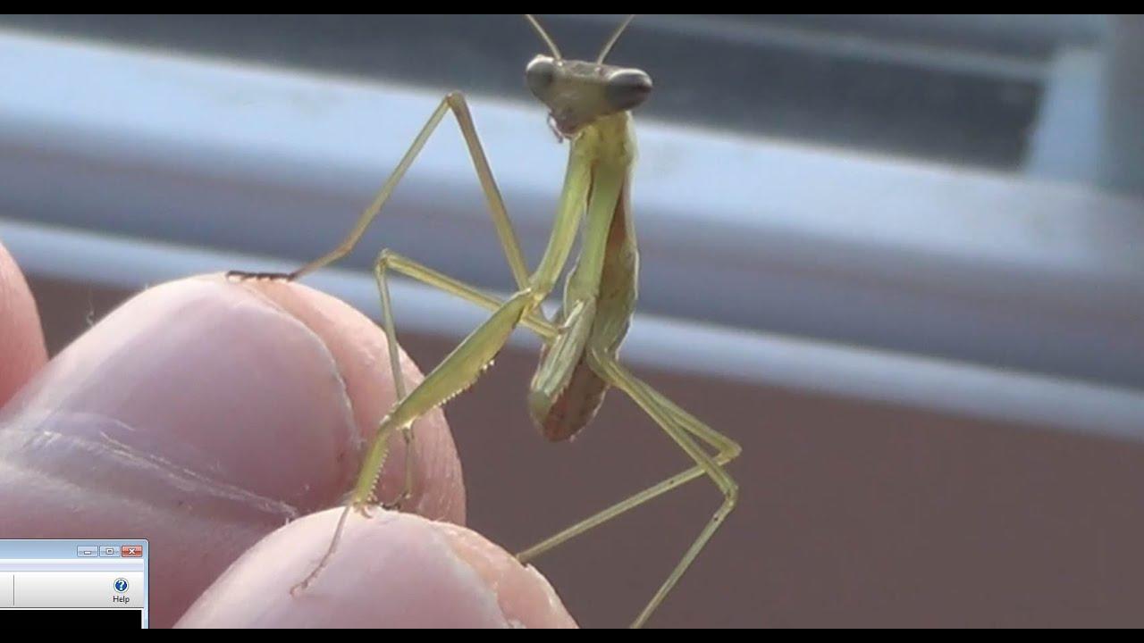 Praying Mantis Week 4 Taking Them Out Youtube